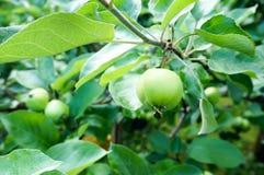 Grüne Äpfel auf Baum Lizenzfreies Stockbild