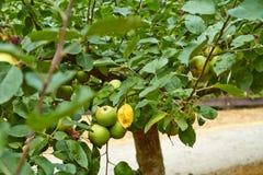 Grüne Äpfel auf dem Apfelbaumast Die Niederlande Juli lizenzfreie stockfotografie
