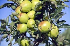 Grüne Äpfel auf dem Baum Stockbild