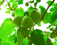 Grüne Äpfel auf dem Baum Stockfoto