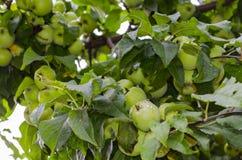 Grüne Äpfel auf dem Baum nach dem Regen Stockbilder