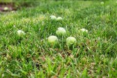 Grüne Äpfel auf dem Gras unter Apfelbaum Gefallener frischer Apfel des Herbstes Hintergrund im Gras Lizenzfreies Stockbild
