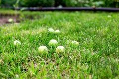 Grüne Äpfel auf dem Gras unter Apfelbaum Gefallener frischer Apfel des Herbstes Hintergrund im Gras Stockfotos