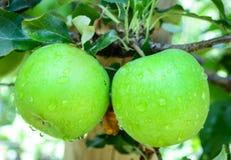 Grüne Äpfel auf einem Baum in einem Obstgarten Lizenzfreie Stockfotos