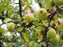 Grüne Äpfel auf einer Niederlassung stockbilder