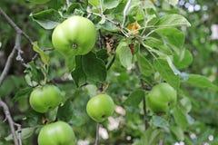 Grüne Äpfel auf einer Niederlassung Lizenzfreies Stockfoto