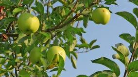 Grüne Äpfel, die darunter an einem Baum hängen stock video