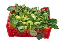 Grüne Äpfel in einem roten Kasten lokalisiert Stockfotografie
