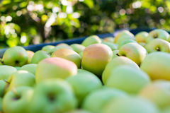 Grüne Äpfel (golden delicious) Stockbild