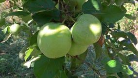 Grüne Äpfel im Baum im Sommer lizenzfreies stockbild