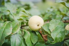 Grüne Äpfel wachsen Äpfel wachsen in einem Garten Lizenzfreie Stockbilder