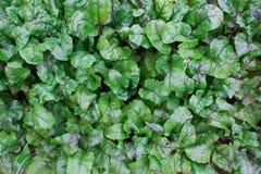 Grüne üppige Blätter der roten Rübe Stockfoto