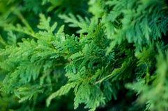 Grüne Abstraktion des Hintergrundes Landschaftsdes Koniferenlaubs an einem warmen Sommertag Lizenzfreies Stockfoto