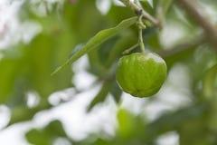 Grüne Acerolakirsche auf Baum Stockfoto