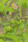 Grüne Acerolakirsche auf Baum Stockbilder