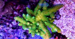 Grüne Acroporaüberziehschutzanlagen-Koralle im Aquarium Stockbild