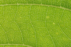 Grüne Ader Lizenzfreie Stockfotografie