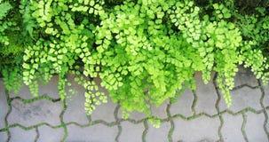 Grüne Adlerfarnblätter Stockfotos