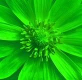 Grüne Adonis-Blumennahaufnahme Haselnuss, Haselnuss Stockbilder