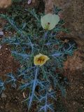 grüne afrikanische Blume w Lizenzfreie Stockbilder