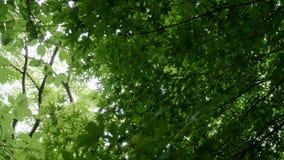 Grüne Ahornbaumnatur stock video