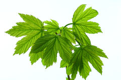 Grüne Ahornblätter Stockfotos