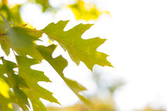 Grüne Ahornblätter Lizenzfreies Stockfoto