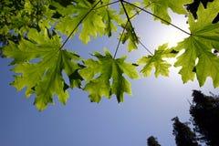 Grüne Ahornholz-Blätter Lizenzfreies Stockbild