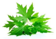 Grüne Ahornholzblätter Stockfotos