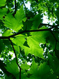 Grüne Ahornholzblätter Stockfoto