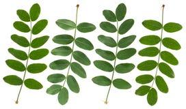 Grüne Akazien-Blätter Stockbild