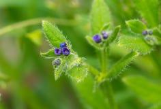 Grüne Alkanetwild wachsende pflanze an der Blütezeit lizenzfreie stockfotos