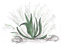 Grüne Aloe Stockbild