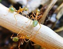Grüne Ameisen bei der Arbeit Lizenzfreies Stockfoto