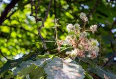 Grüne amerikanische Kastanien auf einem Baum lizenzfreies stockfoto