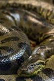 Grüne Anakonda, Eunectes murinus, sucuri Schlange huge stockfotografie
