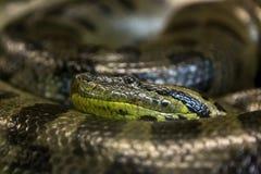 Grüne Anakonda, Eunectes murinus, sucuri Schlange huge lizenzfreie stockfotos