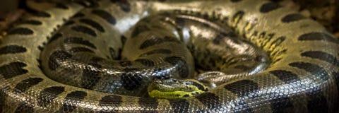 Grüne Anakonda, Eunectes murinus, sucuri Schlange huge lizenzfreie stockfotografie