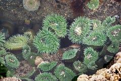 Grüne Anemone Stockbild