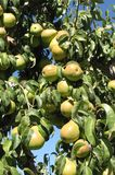 Grüne Anjou-Birnen Lizenzfreie Stockfotos