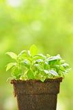 Grüne Anlage des süßen Basilikums Stockbild