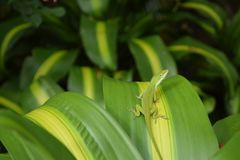 Grüne Anolis-Eidechse auf grünem und gelbem Blatt stockfotografie