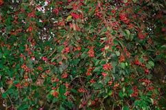 Grüne Apfelbaumlandschaft, Apfel, Blätter, Renette, Apfelnatur-Rotbaum Stockfotos
