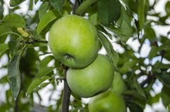 Grüne Apfelfrüchte Stockfotografie