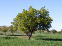 Grüne Aprikosenbaumbilder für Gartenwebsite Stockbild