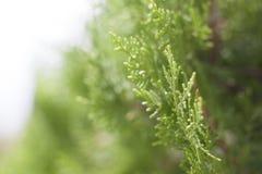 Grüne Arborvitaenahaufnahme Lizenzfreie Stockfotos