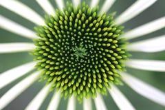 Grüne Asterblume Stockfotografie