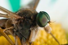 Grüne Augen des Insekts Stockbild