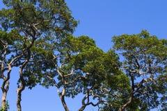 Grüne Bäume auf sonnigem Hintergrund des blauen Himmels Baumast mit grünem Blattmuster Lizenzfreie Stockfotografie