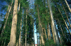 Grüne Bäume des Waldes Stockfotografie